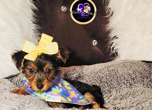Sierra - Female | 8-Weeks Old | Yorkshire Terrier