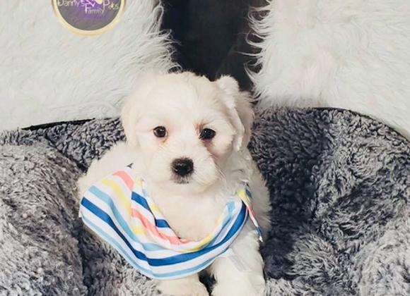 Malik- Male | 7-Weeks Old | Shihpoo