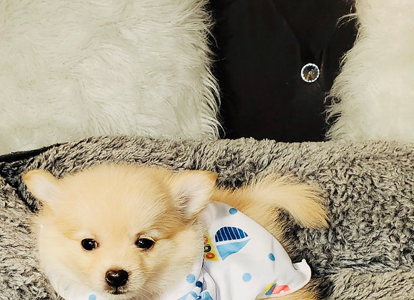 Robbie - Male | 8-Weeks Old | Pomeranian