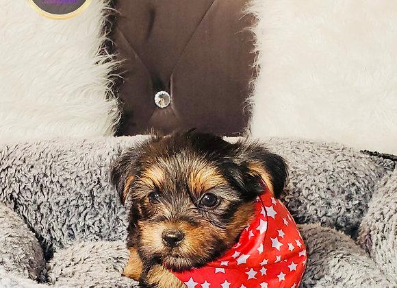 Sammy - Male | 8-Weeks Old | Yorkshire Terrier