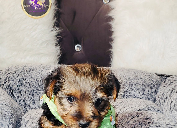 Dalton - Male | 8-Weeks Old | Yorkshire Terrier