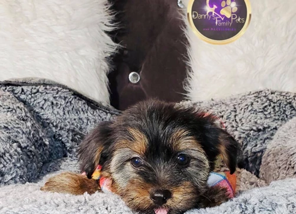 Audi - Male | 8-Weeks Old | Shorkie Tzu