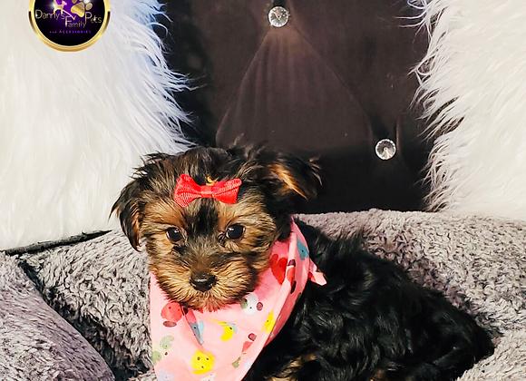 Tootsie - Female | 8-Weeks Old | Yorkshire Terrier