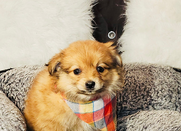 Brownie - Male   8-Weeks Old   Pomeranian