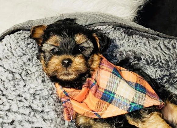 Kash - Male | 8-Weeks Old | Yorkshire Terrier