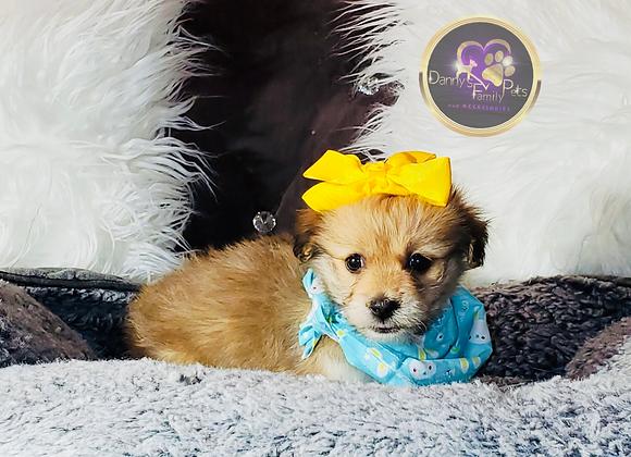 Luna - Female | 8-Weeks Old | Biton