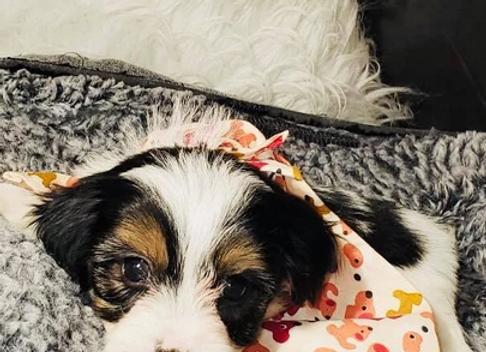 Manny - Male | 8-Weeks Old | Yorkiechon