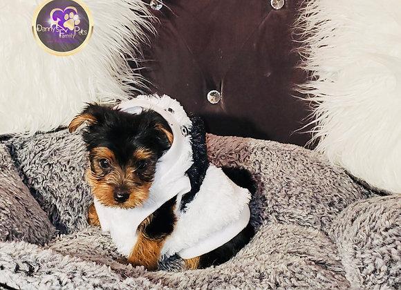 Ziggy - Male | 8-Weeks Old | Yorkshire Terrier