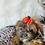 Thumbnail: Kalani - Female | 9-Weeks Old | Shichon