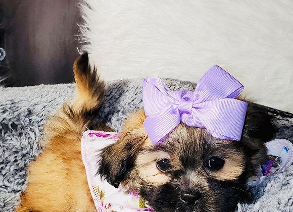 Delilah - Female | 8-Weeks Old | Shichon