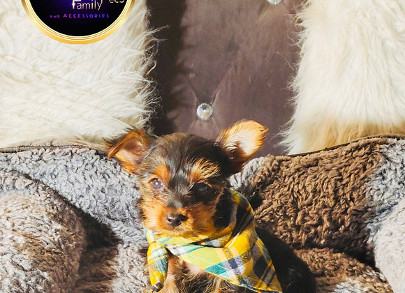 Jersey - Male | 8-Weeks Old | Yorkshire Terrier