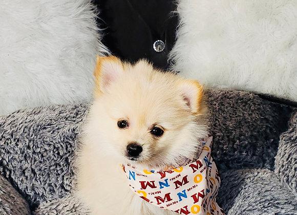 Randy - Male | 8-Weeks Old | Pomeranian