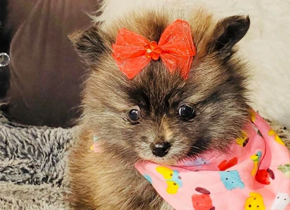 Rayelle - Female | 8-Weeks Old | Pomeranian
