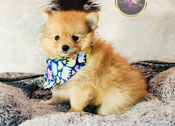 Macho - Male | 8-Weeks Old | Pomeranian
