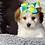 Thumbnail: Cherrie - Female | 8-Weeks Old | Biton