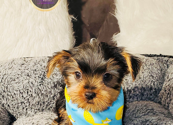 Carson - Male | 8-Weeks Old | Yorkshire Terrier