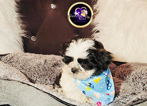 Louie - Male | 8-Weeks Old | Shih Tzu