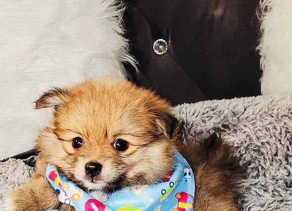 Reggie - Male | 8-Weeks Old | Pomeranian