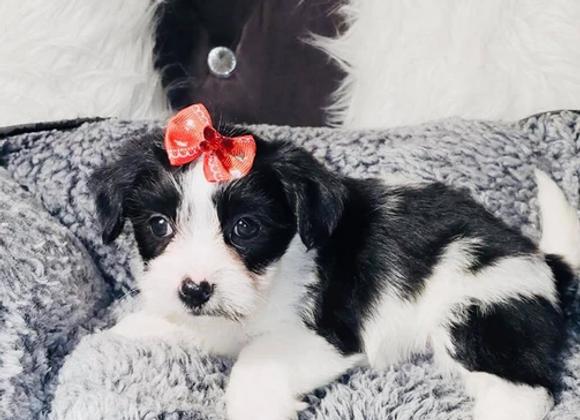 Maggie - Female | 8-Weeks Old | Yorkiechon