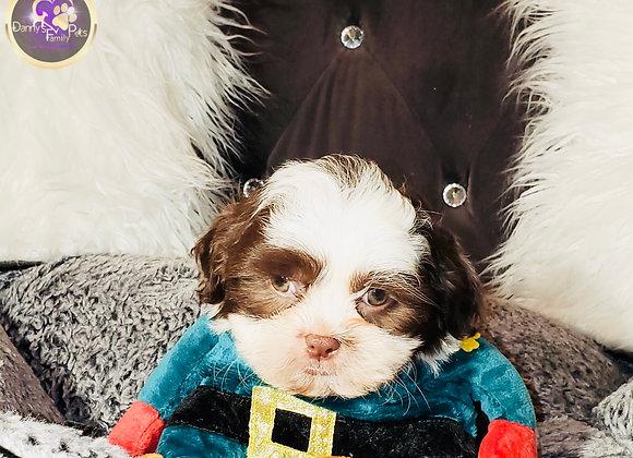 Lennyx - Male | 8-Weeks Old | Shihpoo