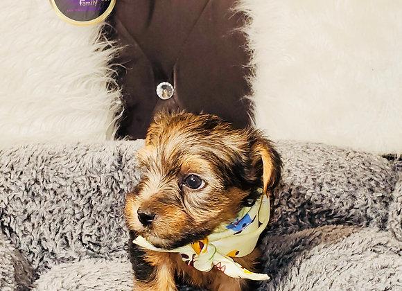 Dinky - Male | 8-Weeks Old | Yorkshire Terrier