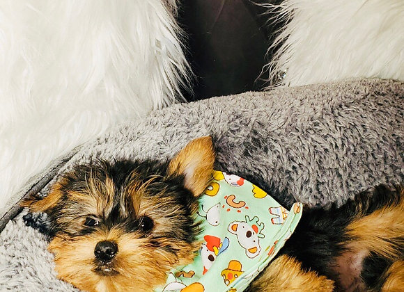 Mason - Male | 8-Weeks Old | Yorkshire Terrier