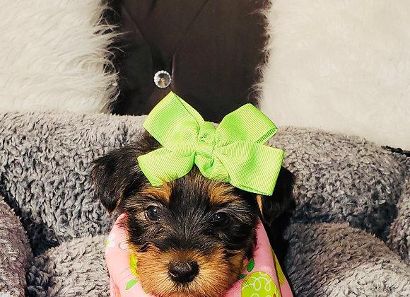 Jewel - Female | 8-Weeks Old | Yorkshire Terrier