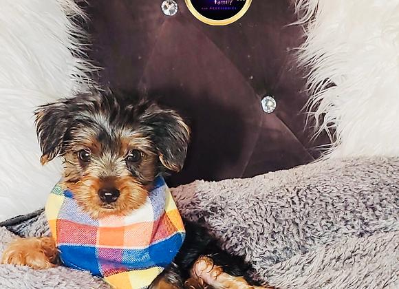 Hooey - Male | 8-Weeks Old | Yorkshire Terrier