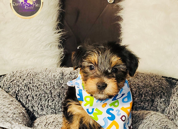 Mitch - Male | 8-Weeks Old | Yorkshire Terrier