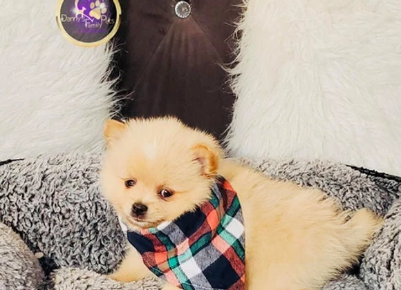Austin - Male | 8-Weeks Old | Pomeranian