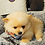 Thumbnail: Austin - Male | 8-Weeks Old | Pomeranian