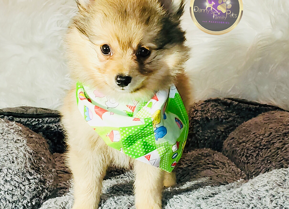 Valentino - Male | 8-Weeks Old | Pomeranian