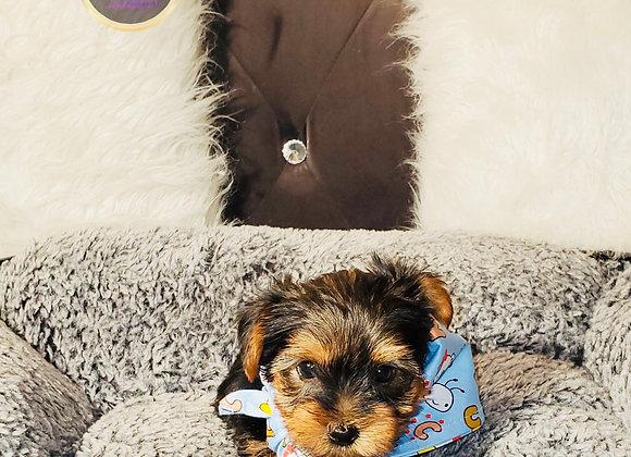 Felix-Max - Male | 8-Weeks Old | Yorkshire Terrier