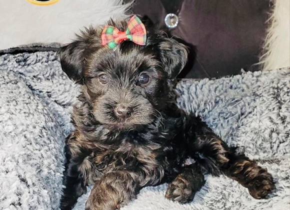 Darling - Female | 8-Weeks Old | Yorkshire Terrier
