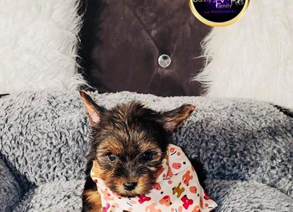 Hershey - Male | 8-Weeks Old | Yorkshire Terrier