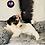 Thumbnail: Moana - Female | 8-Weeks Old | Yorkiechon