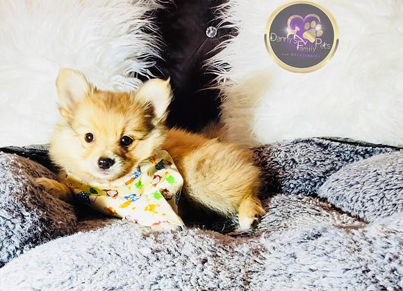 Tuggles - Male | 8-Weeks Old | Pomeranian