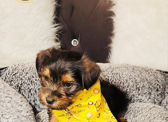 Neo - Male | 8-Weeks Old | Yorkshire Terrier