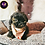 Thumbnail: Baxter - Male | 9-Weeks Old | Shichon
