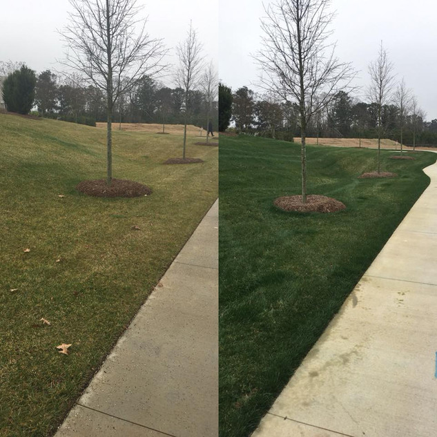 Before and after. This is turf type tall fescue. About 8 weeks in between photos