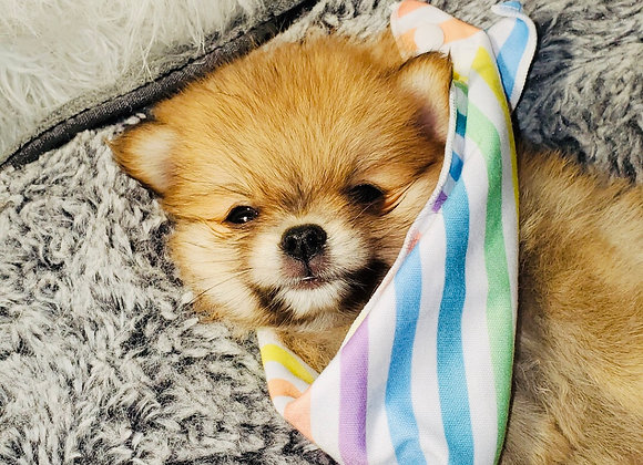 Rider - Male | 8-Weeks Old | Pomeranian