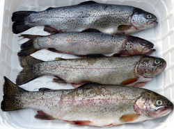 lot river trout
