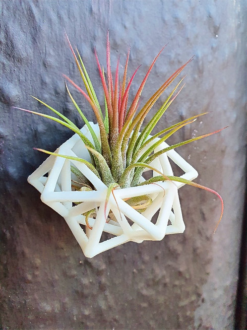 Mini Magnetic Air Plant Holder with air plant
