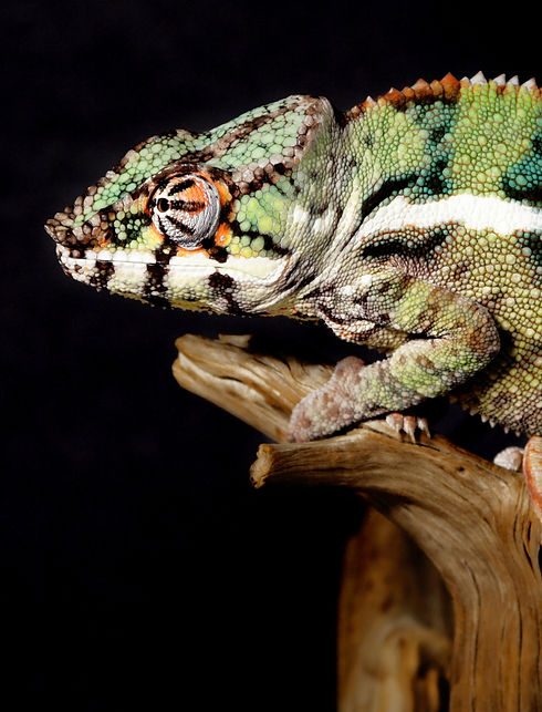 Green Chameleon_edited.jpg