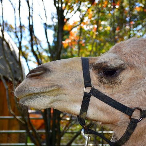 Chris Mark Castle | Abu the Royal Camel
