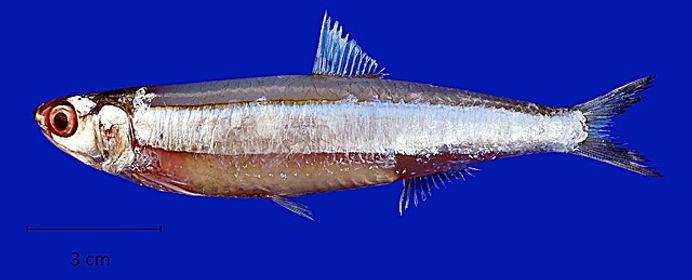 Worms 128581_anchoviella-sanfranciscana.