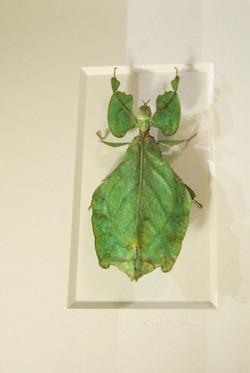 Pheremone Leaf Bug
