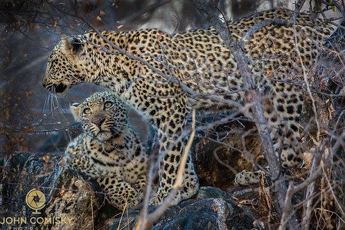"""Siblings 2"" - Africa Leopards"