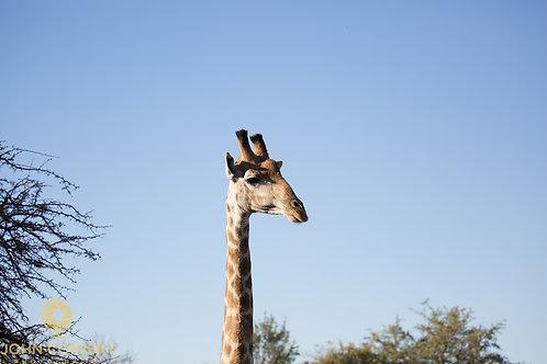 """""""Giraffe 2"""" - African Giraffe"""