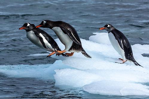 Penguins at play- 1